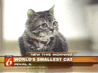A 3 Pound Cat In Pekin, Ill., Has Been Verified As The Worldu0027s Smallest  Domestic Cat. The 2 Year Old Cat, Named Mr. Peebles, Is Officially Listed  As The ...